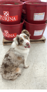 livestock production specialist purina haley hill